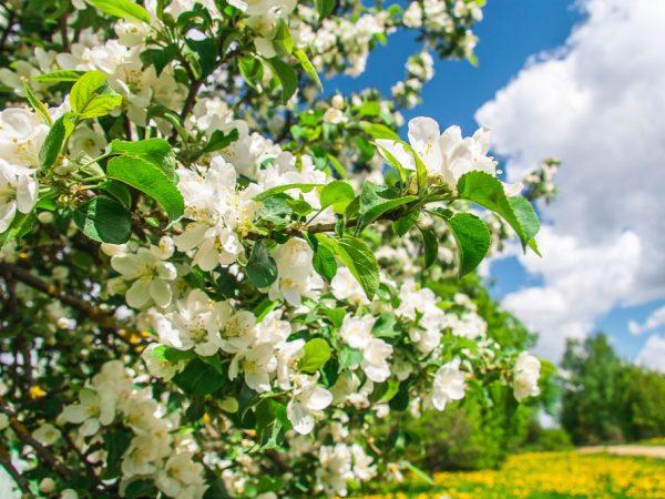 Дерево периодически необходимо избавлять от лишних отростков