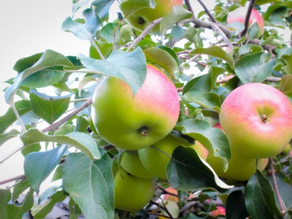 В яблоках содержится много полезных веществ