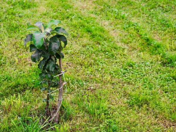 Молодое деревце высаживают в прогретую почву