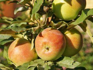 Колоновидная яблоня Созвездие