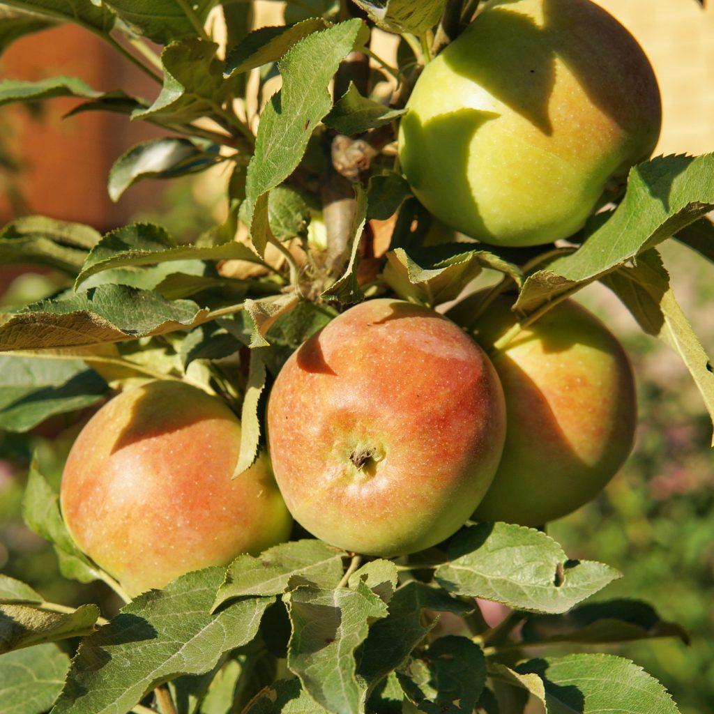 сорта колонн яблок описание и фото помощью нескольких простых