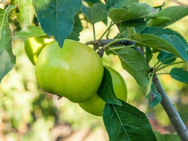 Плоды можно хранить в свежем виде до весны