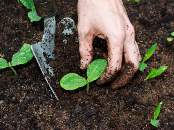Высаживать тыквы необходимо в солнечное место