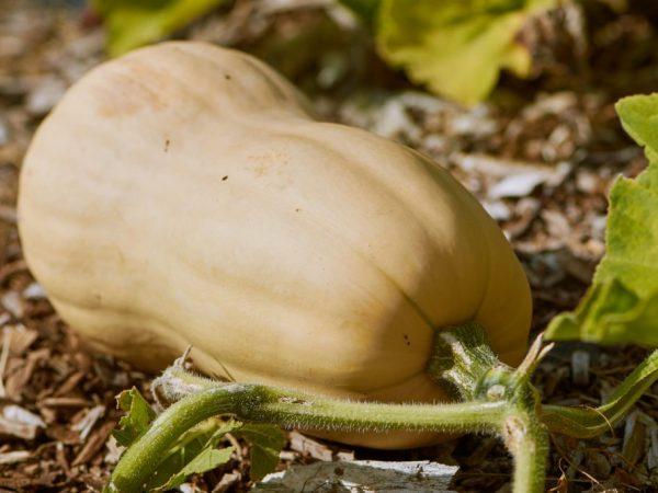 Тыква Дынная (Дыня, Дынька): характеристика и описание сорта, отзывы об урожайности и сложностях выращивания, фото поспевших плодов
