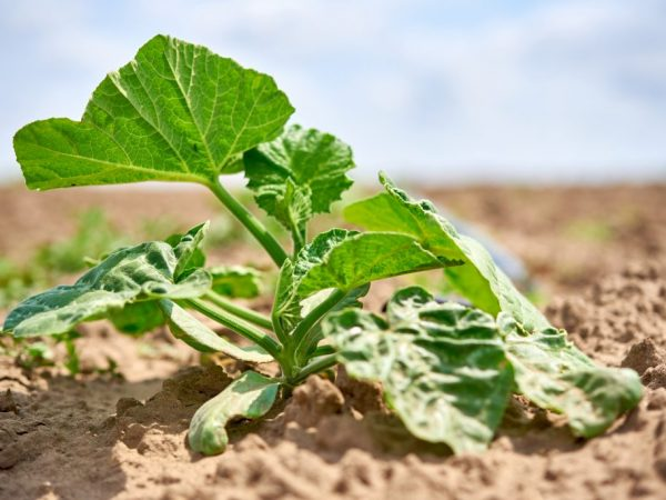 Растение нуждается в регулярном поливе