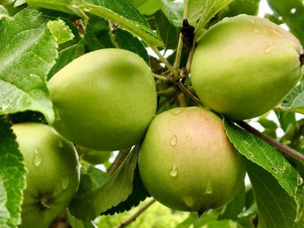 Хороший уход убережет дерево от болезней