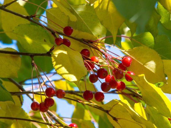 Дикую яблоню возможно вырастить из семян