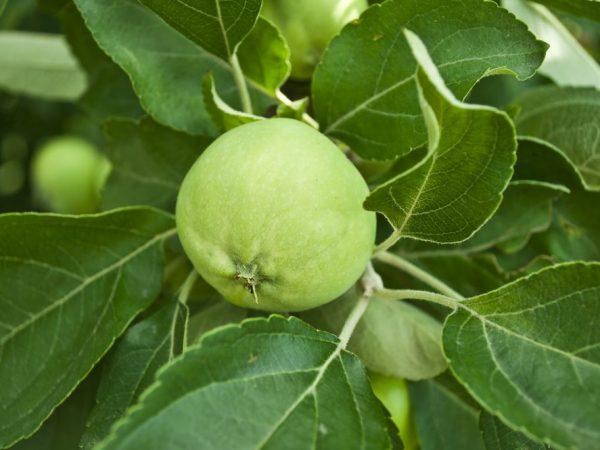 Для получения хорошего урожая за деревом нужно ухаживать