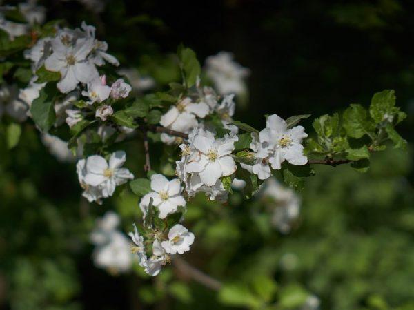 Яблоню нужно периодически обрабатывать от вредителей