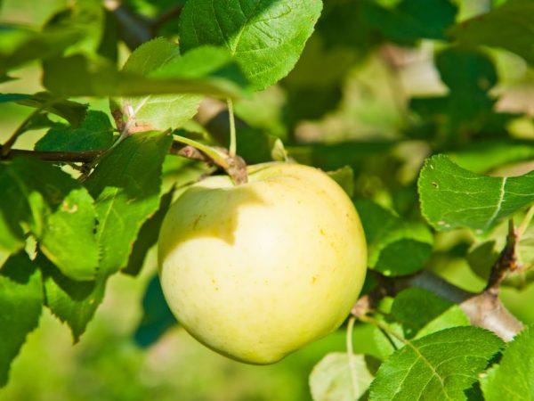 Спелые плоды обладают отличным вкусом