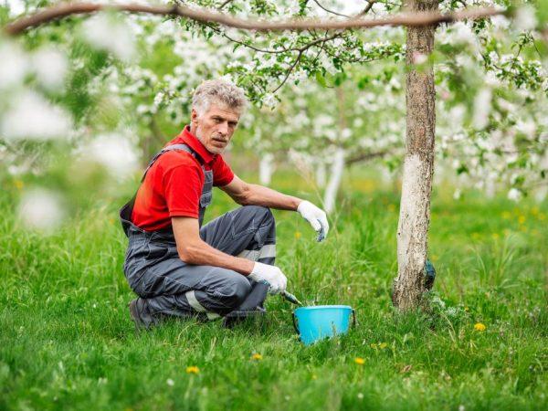 Профилактические меры сохранят здоровье яблони