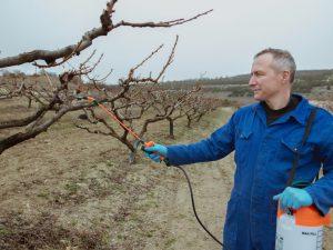 Обработка яблони мочевиной