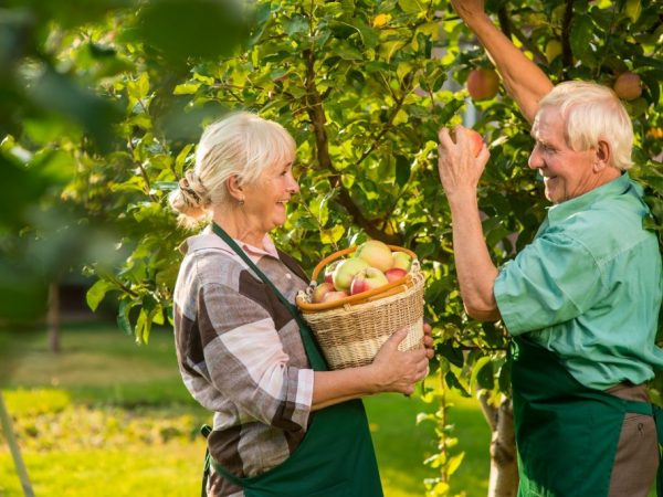 Как кушать яблоки при панкреатите