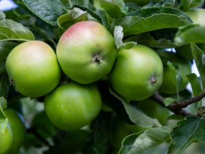 Польза зеленых и красных яблок
