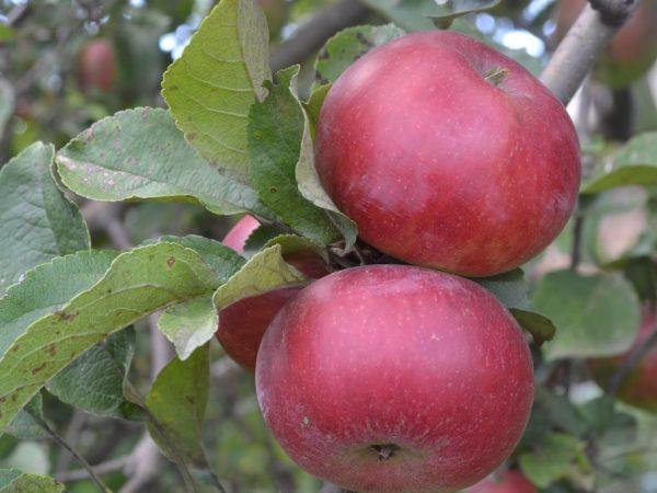 Красные яблоки могут быть вредны для здоровья