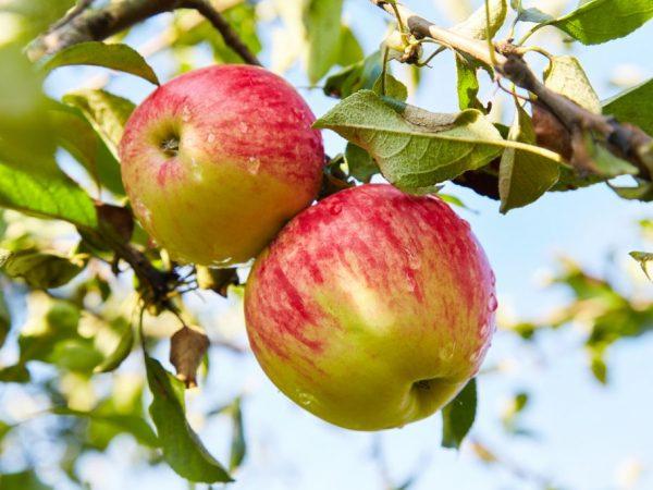 Яблоки богаты полезными микроэлементами