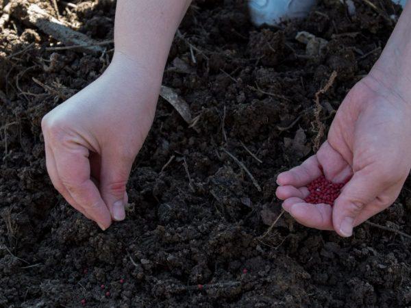 Поздние сорта сеют в апреле