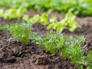 Сроки посадки моркови в 2019 году