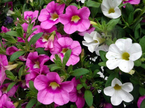 Цветет практически весь сезон