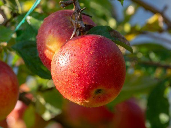 Плоды отличаются хорошим вкусом
