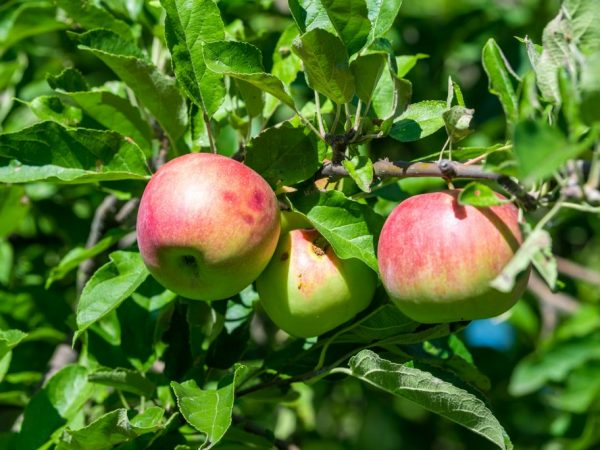 Яблоня порадует вас крупными плодами