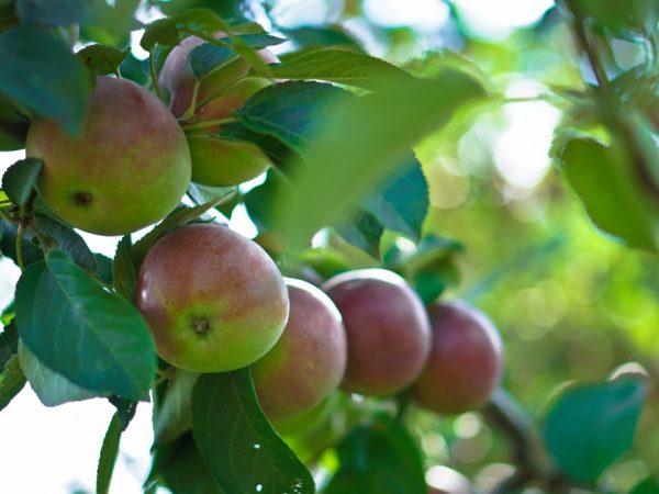 Урожай можно хранить в свежем виде около пяти месяцев