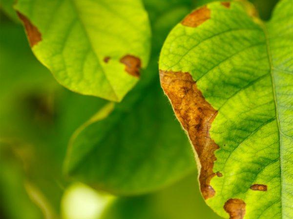 Лечение ржавых пятен на листьях яблони