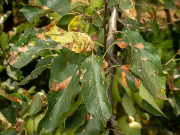 Все заболевшие листья нужно удалить