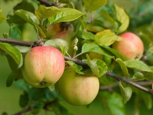 Популярные виды сладких сортов яблок
