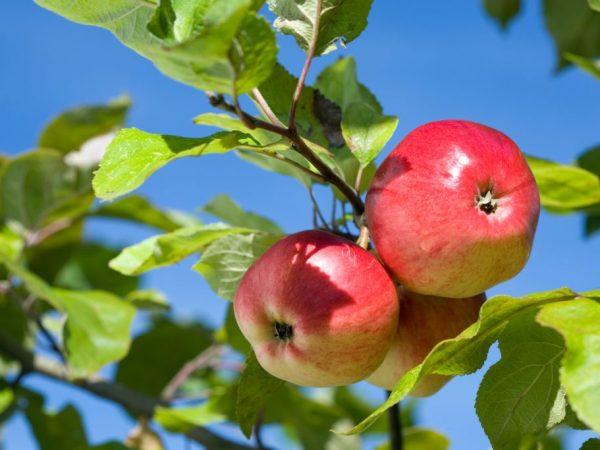 Осенние сорта яблок отличаются возможностью долгого хранения