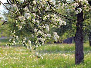 Особенности выращивания штамбовой яблони