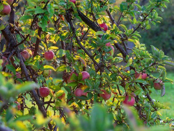 Спелые яблоки не осыпаются с дерева