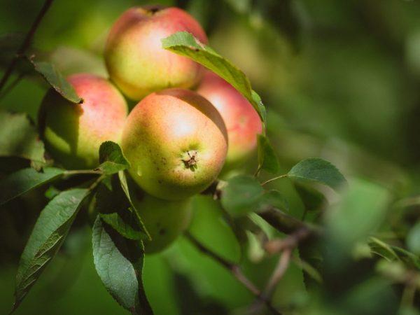 Данный сорт яблок хорошо адаптируется к погодным условиям