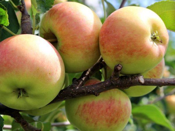 Содержание сахара в плодах можно понизить