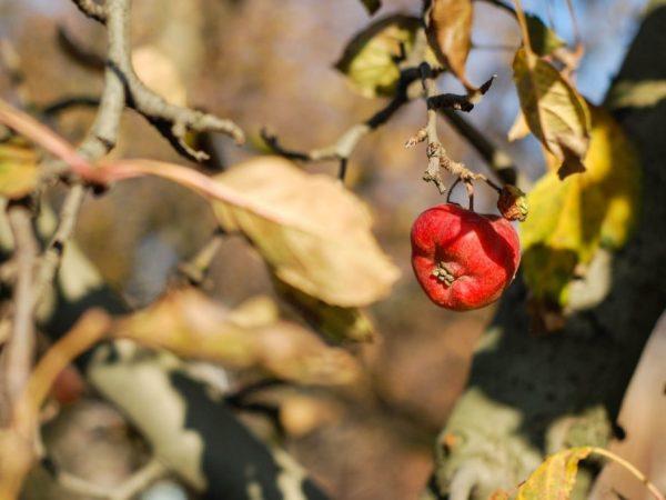 Причины усыхания ветвей и листьев на яблоне