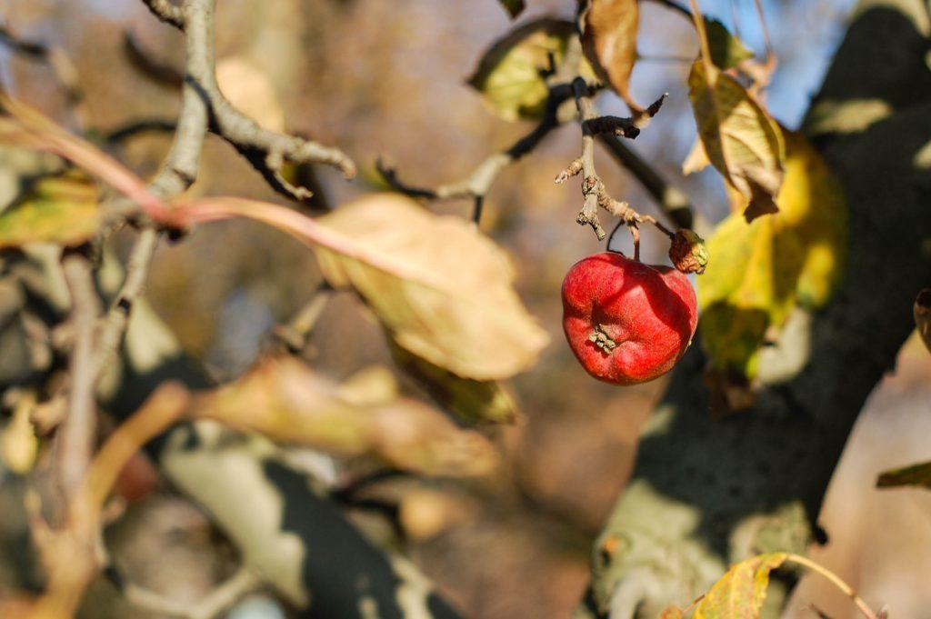 Засыхает яблоня весной что делать