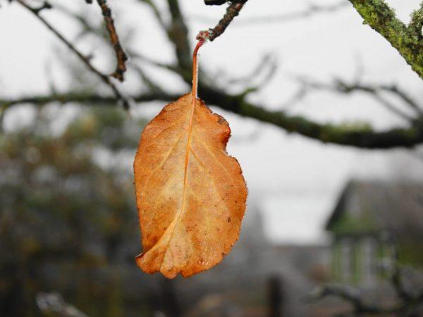 При нехватке полезных веществ может произойти усыхание листьев