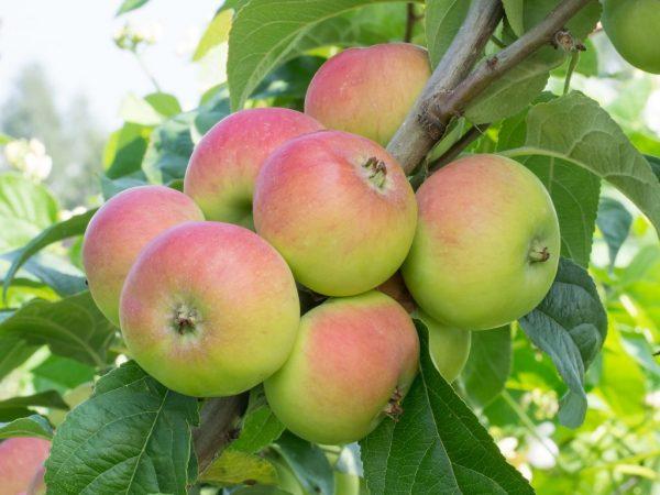 Плоды с яблонь колоновидных сортов очень вкусные