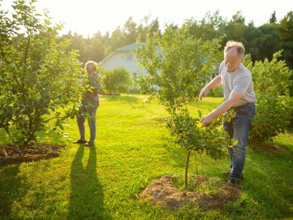Яблоням необходим солнечный свет