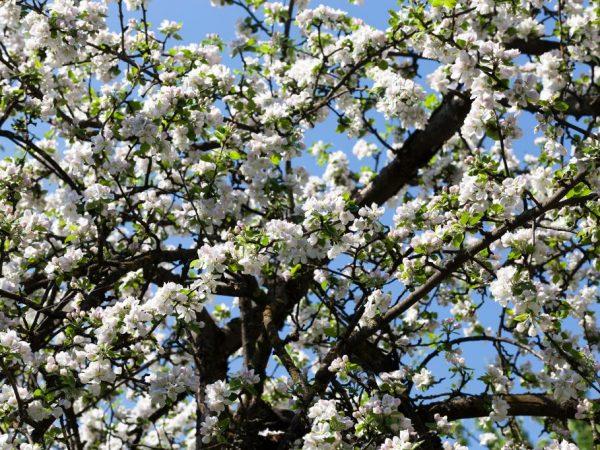 При хорошем уходе дерево может жить больше 60 лет