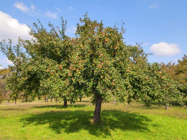 Дерево удобряют два раза в год