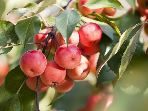 Выращивание яблони Ягодная