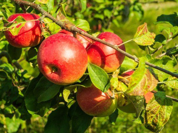 Плоды обладают хорошим вкусом