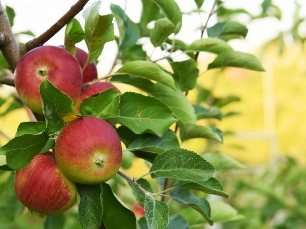 Сорт яблони Заветное