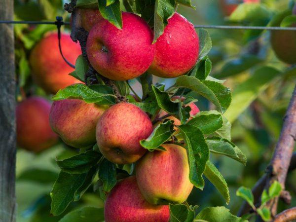Поздняя яблоня с красивыми плодами