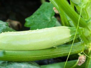 Размеры и свойства кабачка