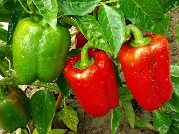 Сладкий и вкусный перец в удобренной земле