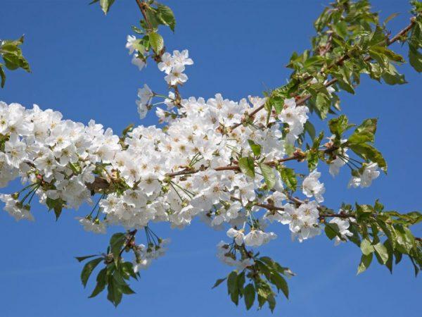 Яблоня цветет белыми цветом