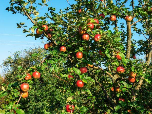 Яблони растут и плодоносят много лет