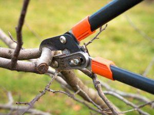 Принципы обрезки яблонь